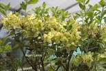 Rhododendron viridescens 'Doshong La'