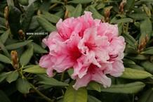 Rhododendron 'Hydon Dawn'