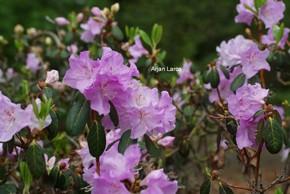 Rhododendron oreotrephes 'Exquisitum'