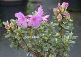 Rhododendron saluenense
