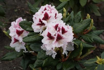 Rhododendron 'Herbstgruss'