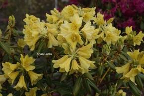 Rhododendron 'Goldstrike'