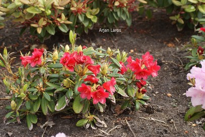Rhododendron 'Piepmatz'