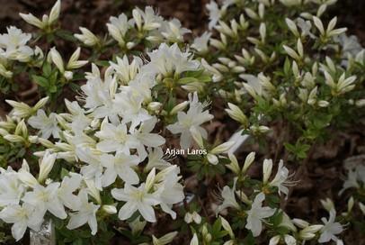 Azalea 'Cascade'