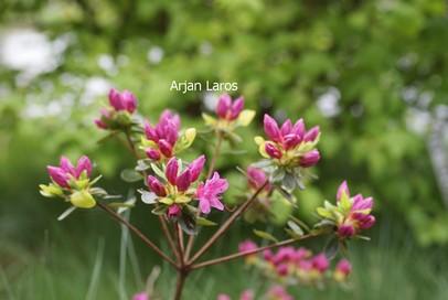 Azalea 'Charm of Flowers'