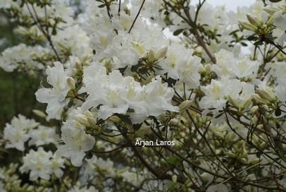 Azalea 'Bernina'
