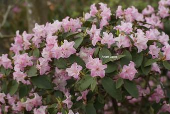 Rhododendron 'Tiffany'
