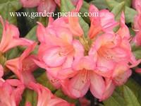 Rhododendron 'Balalaika'