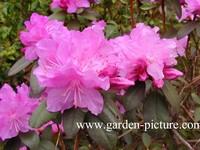 Rhododendron 'P.J. Mezitt'