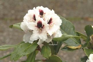 Rhododendron 'Hachmann's Picobello'