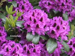 Rhododendron 'Peter Alan'