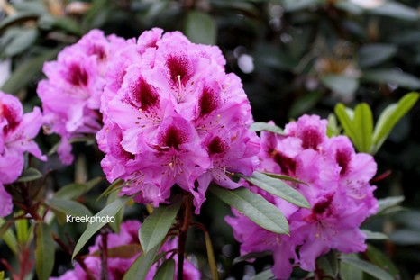 Rhododendron 'Holdrio'