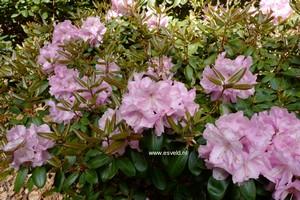 Rhododendron williamsianum x 'Scintillation'