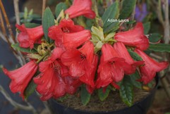 Rhododendron 'Venapens'