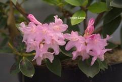 Rhododendron 'Ovatum'
