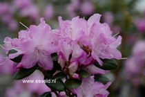 Rhododendron 'Conewago'