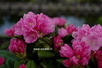 Rhododendron 'Käthe Heinje'