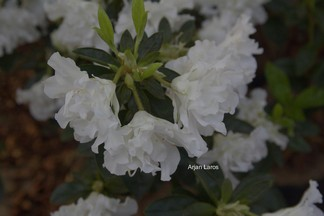 Rhododendron 'White Hope'