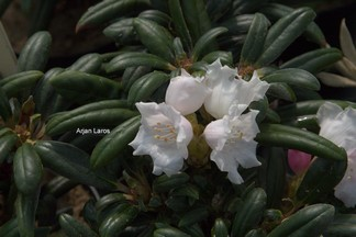 Rhododendron 'Knospe'